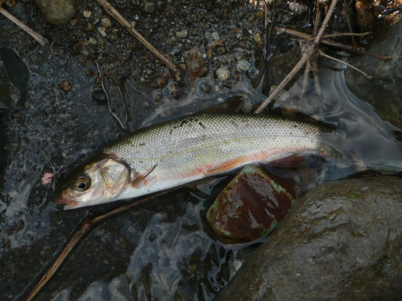 Freshwater fish dace - Japanese Dace Ugui